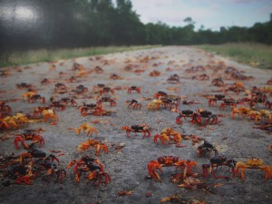 "Red Crabs are on the way everyday. It is unavoidable from them. This place is just 10 km away from the ""Pigs Bay"" (Plaja Giron)..."
